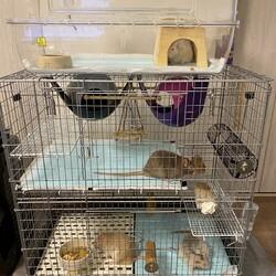 ファンシーラットの飼育環境