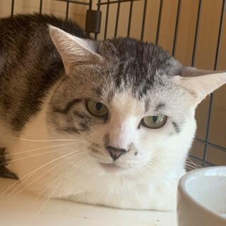 里親様を待っています。保護猫サバ白♂