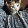 三毛の子猫です