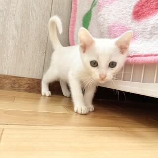 こまりちゃん♀美しい白猫