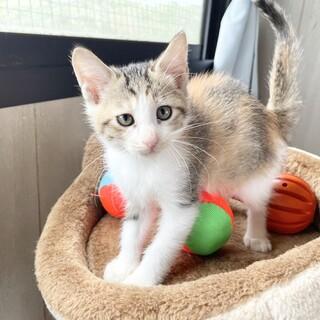 このはちゃん♀うすめの三毛猫さん