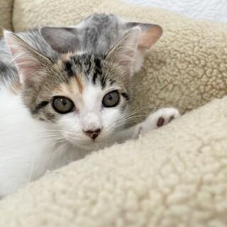 レイラちゃん♀おっとり系の三毛猫