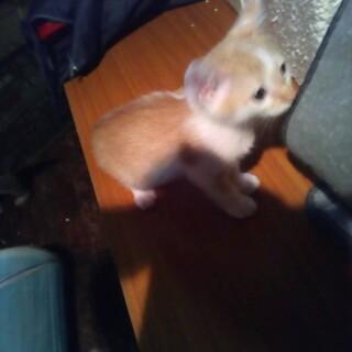 茶白の子猫の里親募集