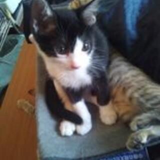 生後2−3ヶ月のハチワレの子猫オス