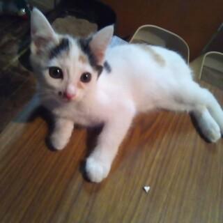 三毛猫の女の子 ハナちゃん