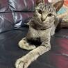 アビシニアン風ゴージャス美人猫