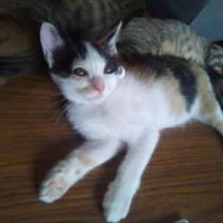 黒柄が濃い三毛猫の女の子 生後2−3ヶ月