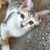キジ白かわいい子猫(兄妹)