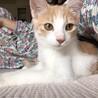 雑種 オス 5ヶ月 茶色 はちわれ子猫