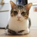 【てんけんこうた】長身キジ白男子(猫エイズ陽性)