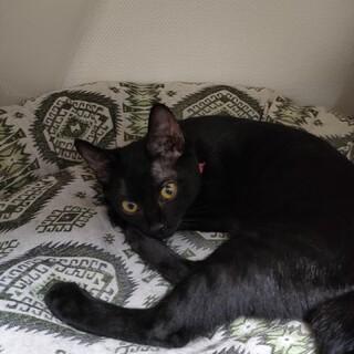 黒猫メス3ヶ月の可愛い子猫です。