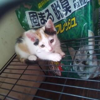 頭が茶色い三毛猫の子猫の里親募集しております