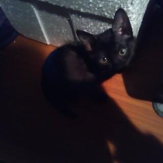 尻尾の長い黒猫の子猫の女の子の里親を募集してます