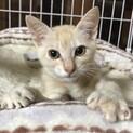 【ロコボーイ】左後足断脚から回復した薄茶トラ子猫