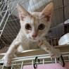 【ロコボーイ】左後足断脚から回復した薄茶トラ子猫 サムネイル2
