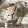【ロコボーイ】左後足断脚から回復した薄茶トラ子猫 サムネイル6