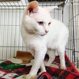 白猫「タマ」 SKU: 20s162
