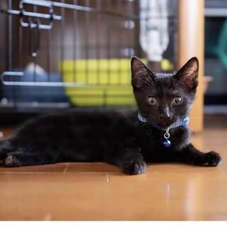 可愛い黒猫♂(左後ろ足先がないです)