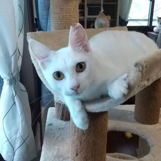 綺麗なゴールドアイの白猫。澪(みお)ちゃん♡
