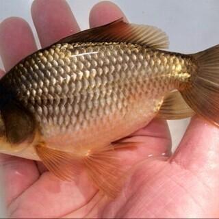 黒三尾金魚 (和金×琉金)   3匹