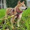美人のツンデレ柴犬ちゃん、おとなしくて可愛い! サムネイル2