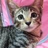 ❤️甘えた子猫❤️キジトラ男の子