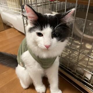 雑種の5ヶ月の男の子 フワフワの美猫です。