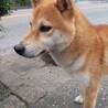 柴犬 優良血統の男の子 2歳