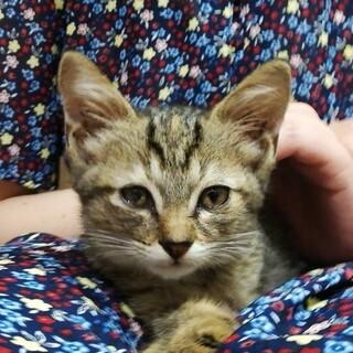 【子猫】可愛い2か月の女の子