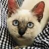 ブルーの目が可愛いシャム系仔猫