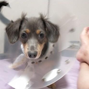 去勢手術完了しました!耳の付け根にシャチホコみたいな毛が出現しました(可愛い)