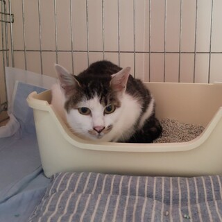 急募!!!白血病陽性の子猫6カ月齢