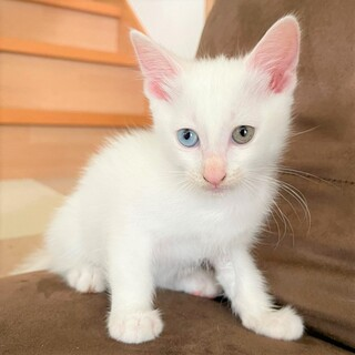 オッドアイの白猫 ユイちゃん トイレのしつけOK