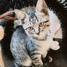 おっとりしたキジトラ子猫 ブリちゃん
