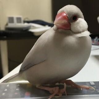 シルバー文鳥オス