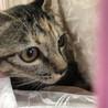 超美少女猫 サビ猫の甘えん坊