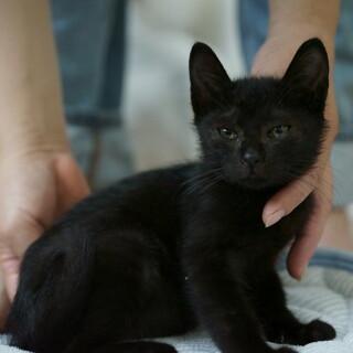 【野良猫保護】ポテチ オス 推定3ヶ月