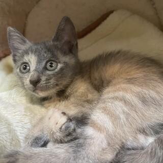 【小平市】グレーの美猫!羽織ちゃん