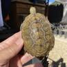 ニホンイシガメの小亀♂