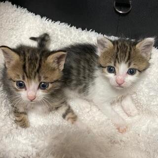 5月生まれの双子猫(譲渡会出場)
