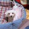 今別(いまべつ)未来の美犬候補生❤