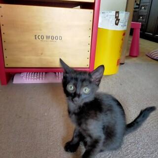 子猫の里親募集(黒仔猫)