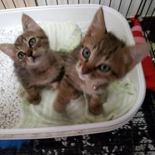 【代理応募】子猫の里親募集