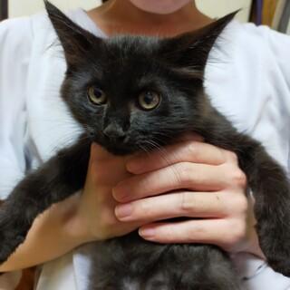 真っ黒クロスケ子猫2ヶ月です
