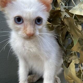 【サロンシャンプー済み】希少カラーの美猫ちゃん