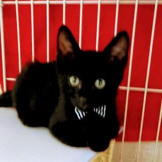愛らしい!黒子猫 ハルちゃんです