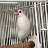 荒鳥 文鳥