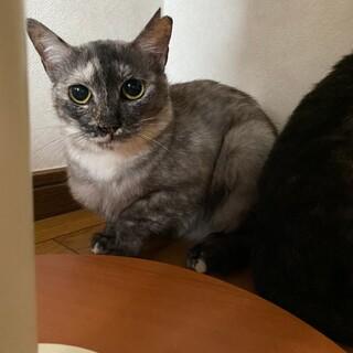 グレーの美猫さん♡ルナちゃん