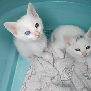 白猫美人姉妹ちゃん