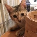【なでしこ】賢いスリゴロ薄キジサビ少女猫